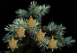 Preview: Casalanas Christmas tree decoration, golden snowflake, 14x14 cm, gold, item no. 3276